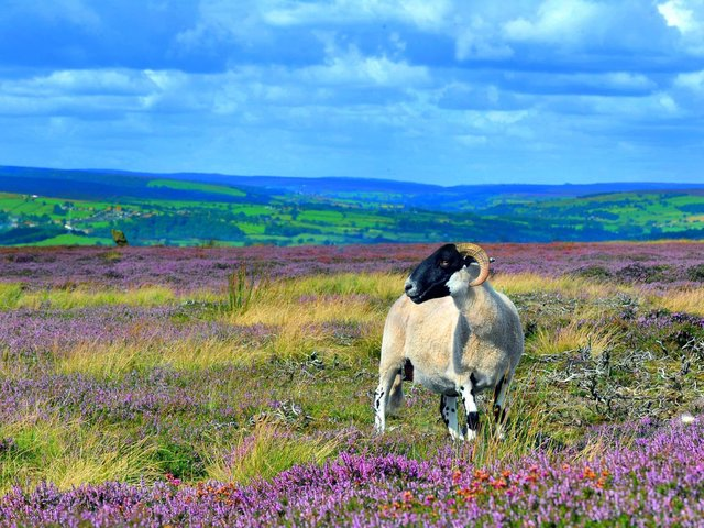 Sheep in the North York Moors.