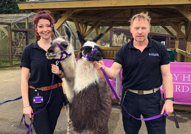 Llamas Willow and Lisa Marie are pictured with with Sewerby Zoo staff members.