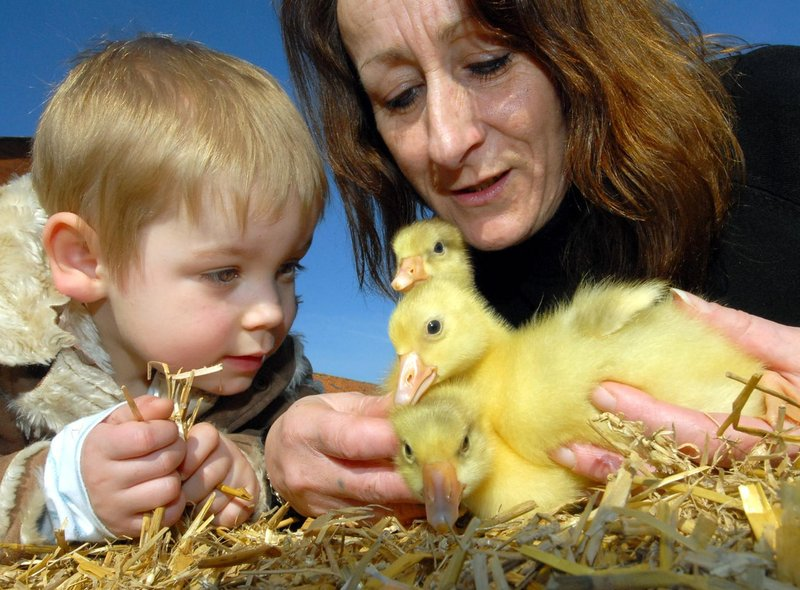 Springtime chicks at Nigel Cunningham's farm smallholding on Northside - grandson Finley Gaines and gran Val Cunningham view the goslings.