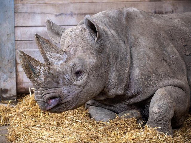 Chanua will spend a month getting accustomed to her new diet Pic: Bruce Rollinson