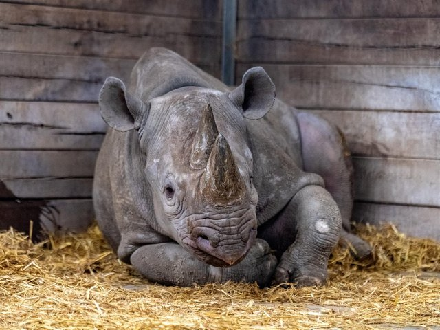 Black rhino Chanua is travelling 7,000 miles to join a breeding programme in Tanzania