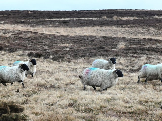 Sheep on the North York Moors National Park. picture: Gary Longbottom.