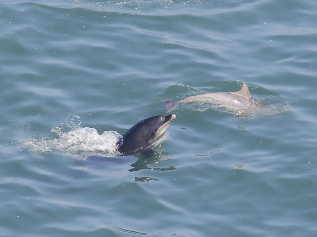 The dolphins have also been spotted playing at RSPB Bempton Cliffs this week. Credit: Jo Symon