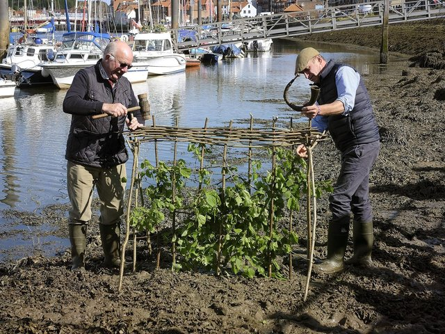 The traditional Penny Hedge event in Whitby in 2019 - Lol Hodgson and Tim Osborne work on the hedge.