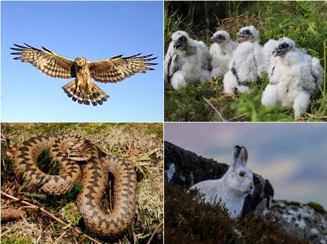Clockwise from top left: Hen harrier, Peregrine Falcon chicks, mountain hare and adder. Pictures: The Moorland Association.
