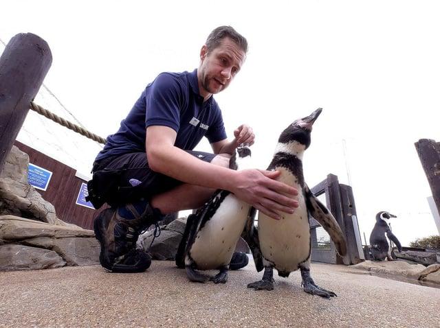 Todd German with some of the Humboldt penguins. Picture: JPI Media/ Richard Ponter