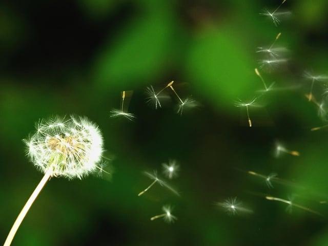 Dandelion seeds blow in the wind. Philippe Hugen/AFP via Getty Images.