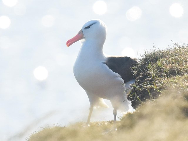 The albatross photographed by Andy Hood