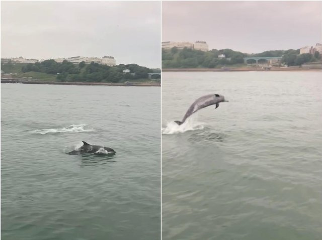Dolphins leaping in front of the South Bay. Stills from video by Mark Jenkinson.