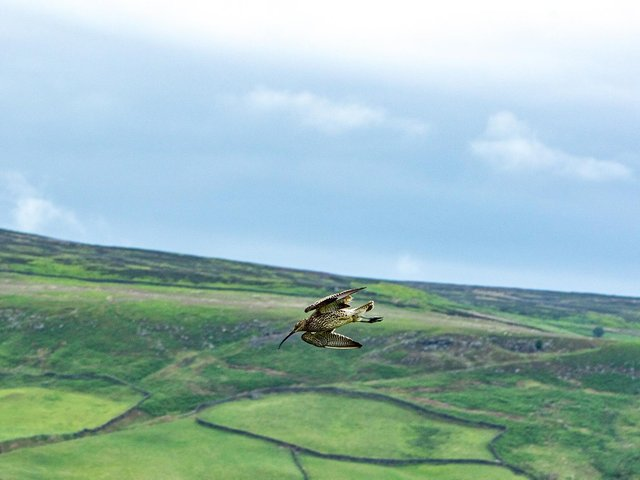 Curlew at Farndale.